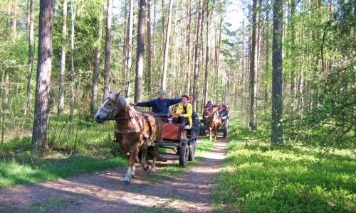 Bryczki i kuligi po Puszczy Augustowskiej